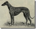 Greyhound_Portrait